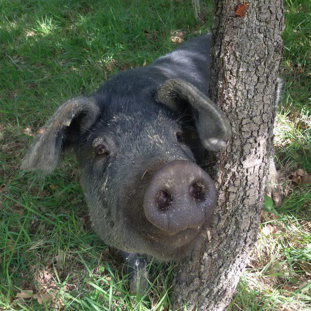 Onze zwarte land varkens