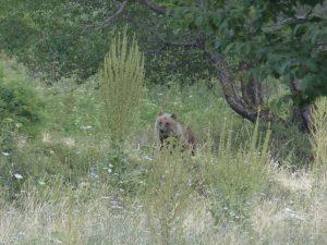 Een unieke ervaring: Beren kijken in Europa