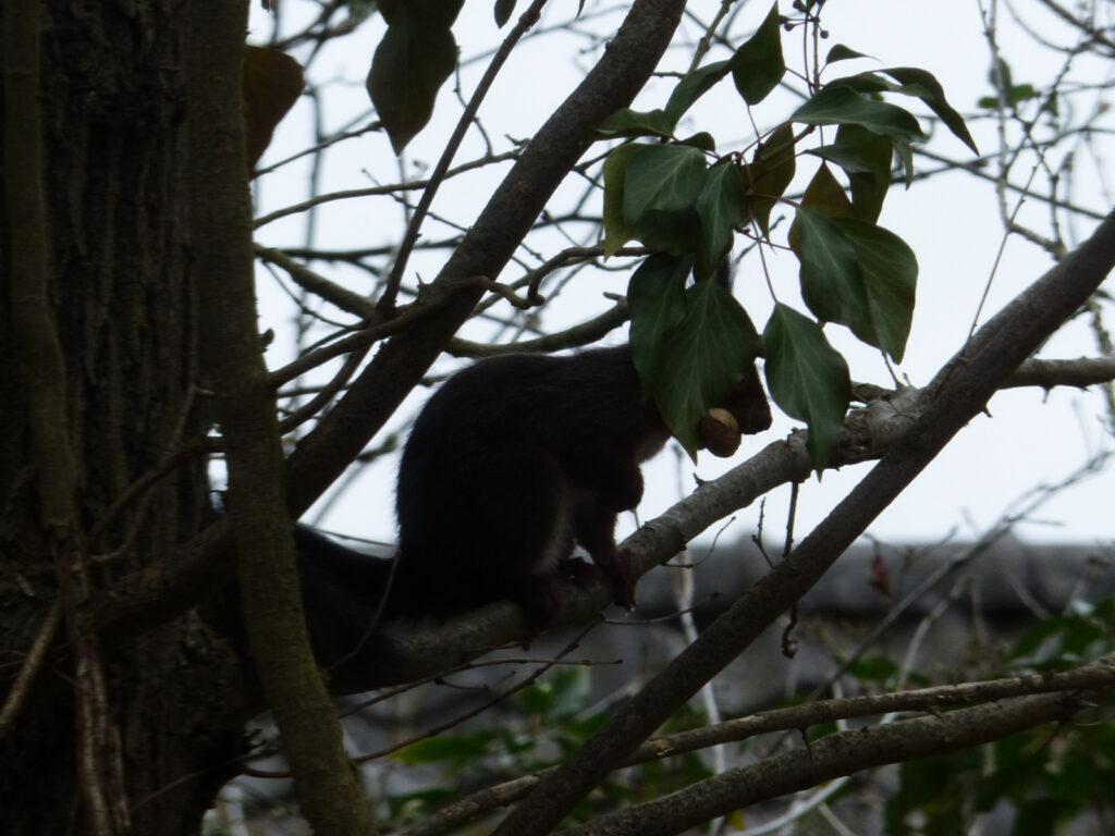 Eekhoorn bij de Boompieper